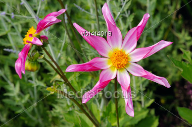 Tall Dahlia Plant With Large Flowers, Variety Marie Schnugg Stock Photo
