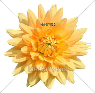 Tall Dahlia Plant With Large Flowers, Isolated On A White Background Stock Photo