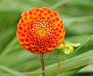 Tangerine Dahlia, Bright Orange Ball-shaped Flower On A Green Background Stock Photo