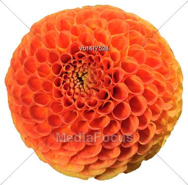 Tangerine Dahlia, Bright Orange Ball-shaped Flower, Isolated On A White Background Stock Photo