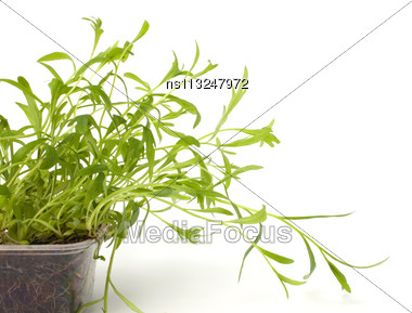 Tarragon Spice Isolated On White Background Stock Photo