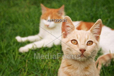 Tawny And Red Cats On Green Grass Stock Photo
