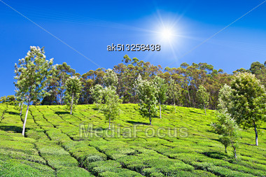 Tea Plantation In Munnar, India Stock Photo