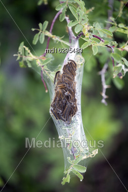 Tent Caterpillar Nest In Saskatchewan Canada Scenic Stock Photo