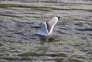 Tern Diiving For Food In Pond Canada Stock Photo