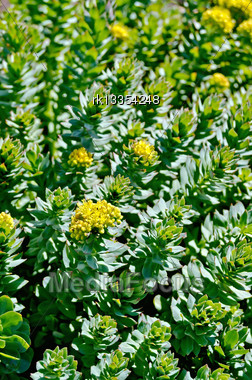 Texture Of The Plants And Flowers Rhodiola Rosea Stock Photo