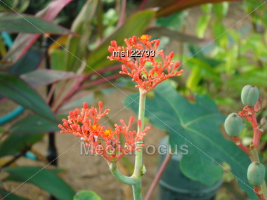 This Flower is available Upcountry side in Sri Lanka. Stock Photo
