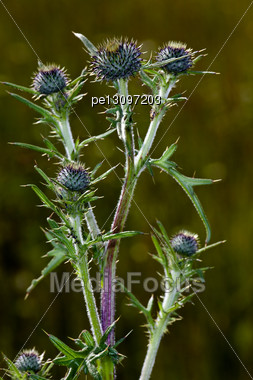 Thistle Bush In The Garden Around Moscow Stock Photo
