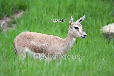 Thomson's Gazelle Female On High Alert In The Grass. Stock Photo