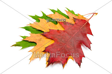 Three Autumnal Maple Leaves Stock Photo
