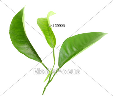 Three Green Leaf Of Citrus-tree On Branch. Isolated On White Background. Close-up. Studio Photography Stock Photo