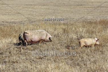 Three Pigs Grazing On The Dry Grass Stock Photo