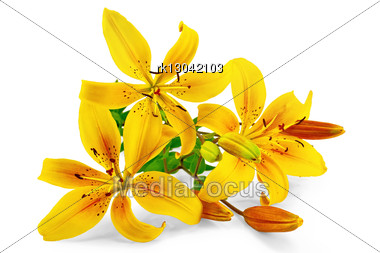 Three Yellow Lilies With Green Leaves Stock Photo