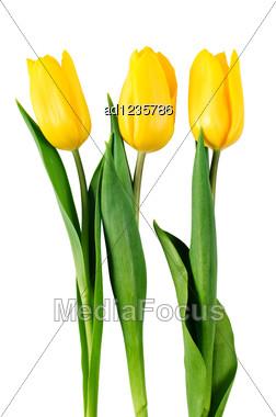 Three Yellow Tulips Isolated On White Stock Photo