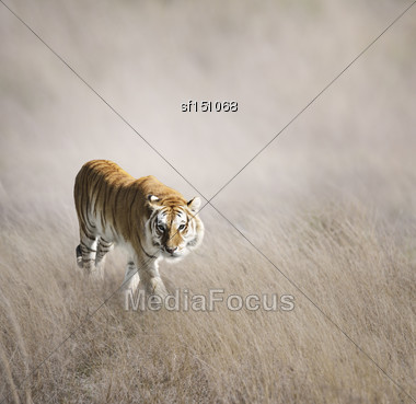 Tiger Walking In The Grass Stock Photo