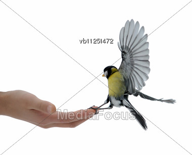 Titmouse Takes Sunflower Seeds From A Hand Of The Boy Stock Photo