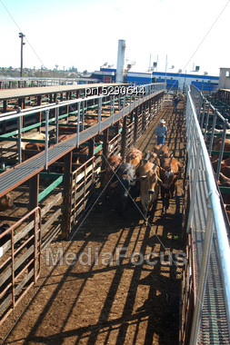 TOOWOOMBA, AUSTRALIA, Circa 2009: Man Organises Cattle In Pens For Auctioning, Circa 2009, Toowoomba, Queensland, Australia Stock Photo