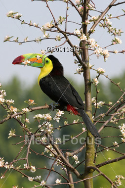 toucan sitting in a blooming tree Stock Photo