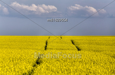 Tractor Tracks In Canola Field In Saskatchewan Canada Stock Photo