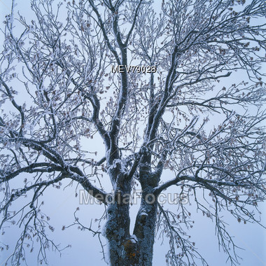 Tree Branch With Frost In Winter Stock Photo