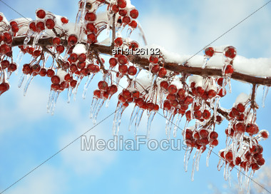 Tree Branch With Icy Red Berries Stock Photo