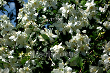 Tree With Lot Of White Flowers And Green Leaves At Sunny Summer Day Stock Photo