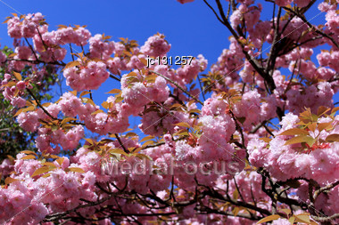Tree In Spring With Flowering Pink Flowers And The Appearance Of The Pistil On A Background Of Blue Sky Stock Photo