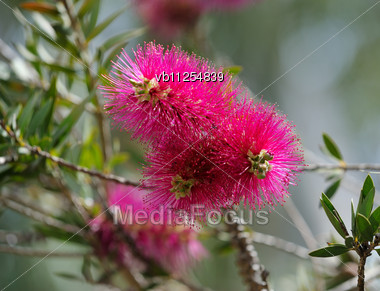 Trees With A Bright Flowers In Israel Stock Photo