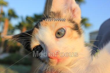 Tricolor Domestic Kitten. Head Of Kitten. Cute Kitten Cat Stock Photo