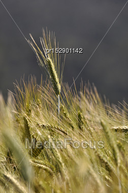 Triticale Grown For A Dairy Farm Silage Crop, Westland, New Zealand Stock Photo