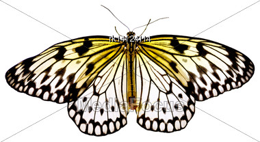 "Tropical Butterflies ""Idea Leuconoe"" Isolated On White Background Stock Photo"