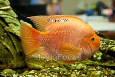 Tropical Freshwater Aquarium With Big Red Fish Stock Photo