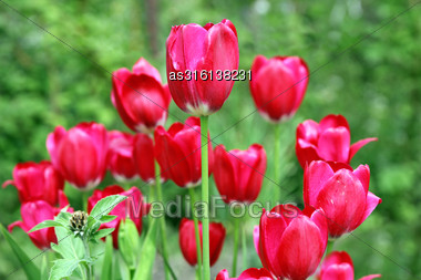 TulipBouquet Of Red Tulips Flowers On A Background Of Green Leaves Stock Photo