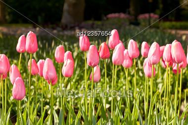 Tulips Field In Keukenhof Park, Netherlands Stock Photo