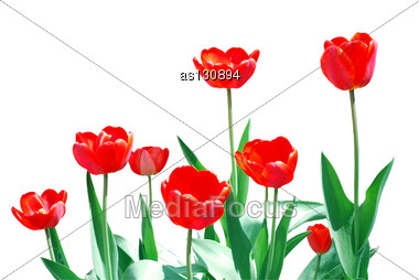 Tulips Frame Template Stock Photo