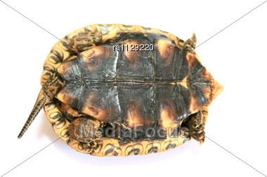 Turtle Lying On Back Stock Photo