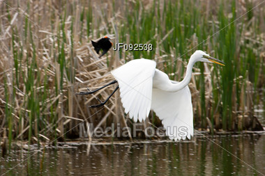 Two Birds In Combat Fighting For Position In The Swamp Stock Photo