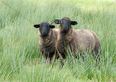 TWO BLACK FACED SHEEP NORTH WEST ENGLAND Stock Photo