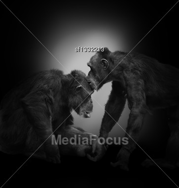 Two Chimpanzee On Black Background Stock Photo