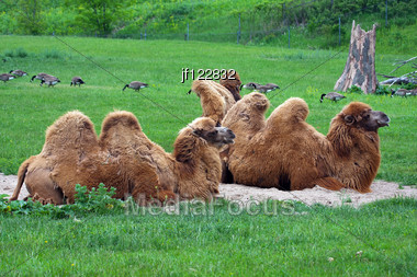 Two Dromedaries Or Camels Resting In The Grass. Stock Photo