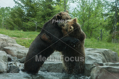 Two Grizzly (Brown) Bears Fighting And Playing Stock Photo