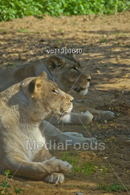 Two Lions Lying On The Ground Stock Photo