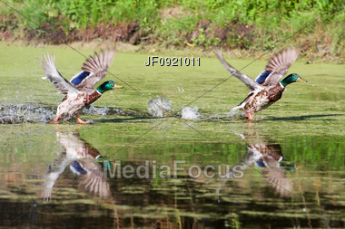 Two Mallards Looking Almost Identical As They Take Flight Stock Photo