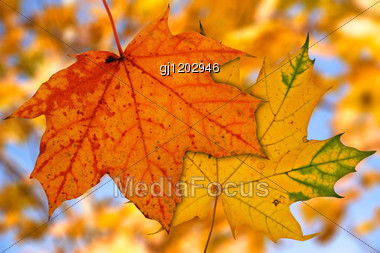 Two Maple Leaves On Blurry Autumnal Background Stock Photo