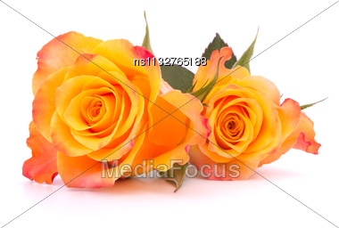 Two Orange Roses Isolated On White Background Cutout Stock Photo
