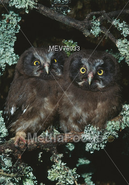 Two Owls In Tree Stock Photo