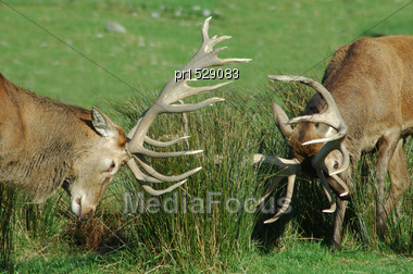 Two Red Deer Stags Fighting With Their Antlers, West Coast, South Island, New Zealand Stock Photo