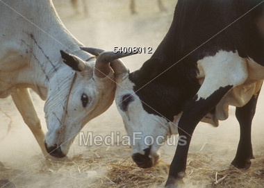 Two Struggling Cattle, Northern Africa Stock Photo