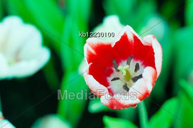 Twotone Flower In The Garden Stock Photo
