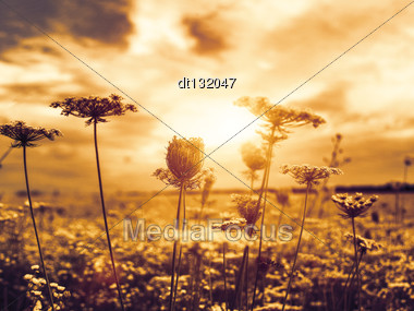 Under Theevening Sun, Abstract Natural Backgrounds With Wild Flowers Stock Photo